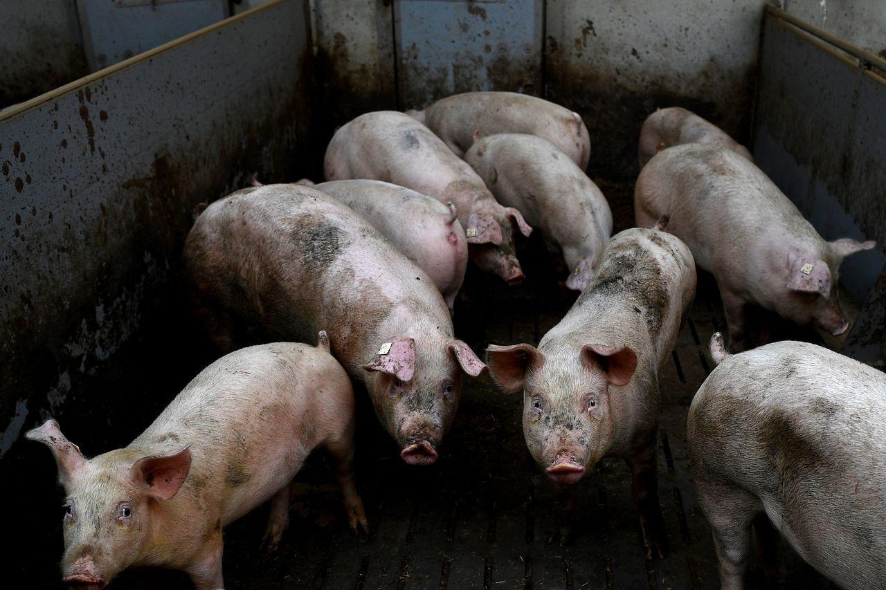 美國科學家17日宣布,他們在一項實驗中成功讓死掉數小時的豬腦恢復運作。法新社