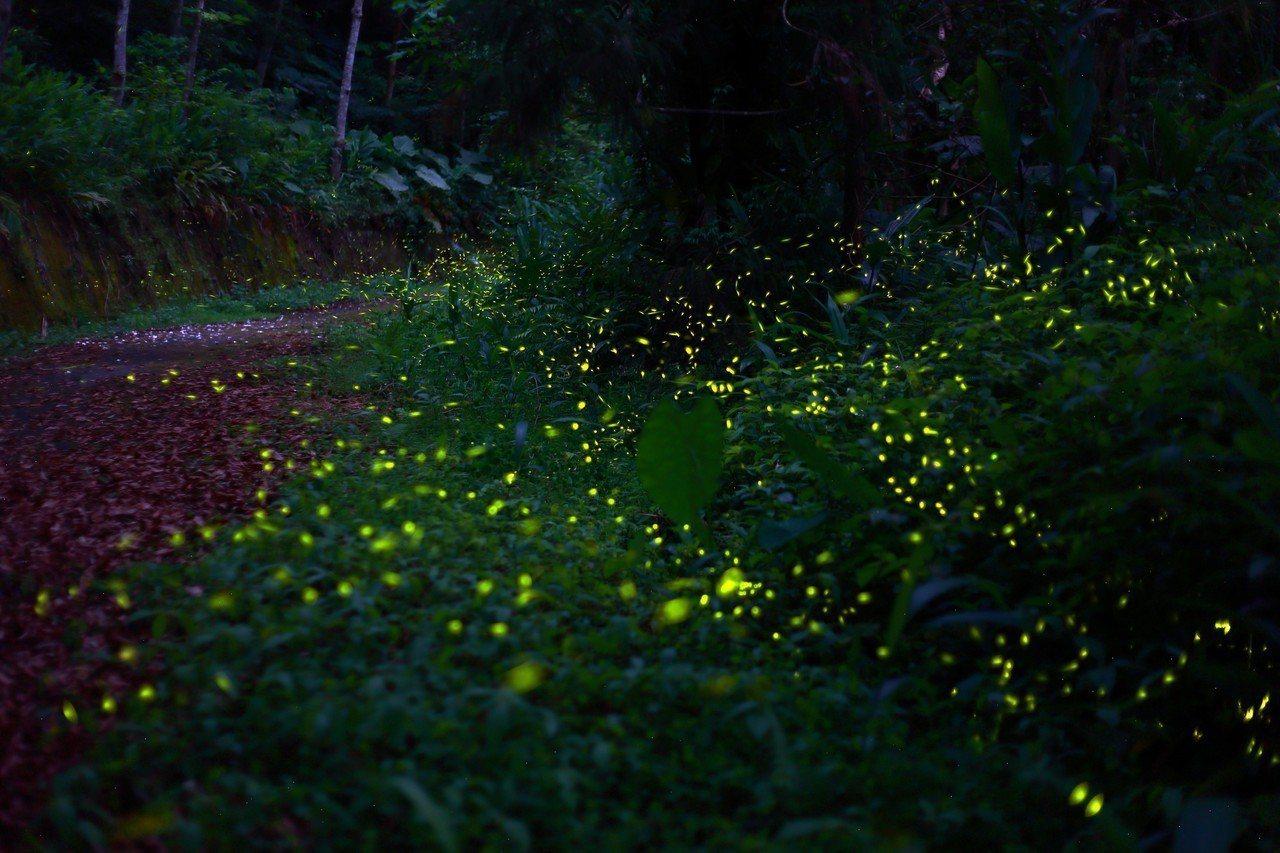 新北市坪林區去年入選全球百大綠色旅遊地,近期觀魚步道有螢火蟲飛舞在四周。圖/坪林...