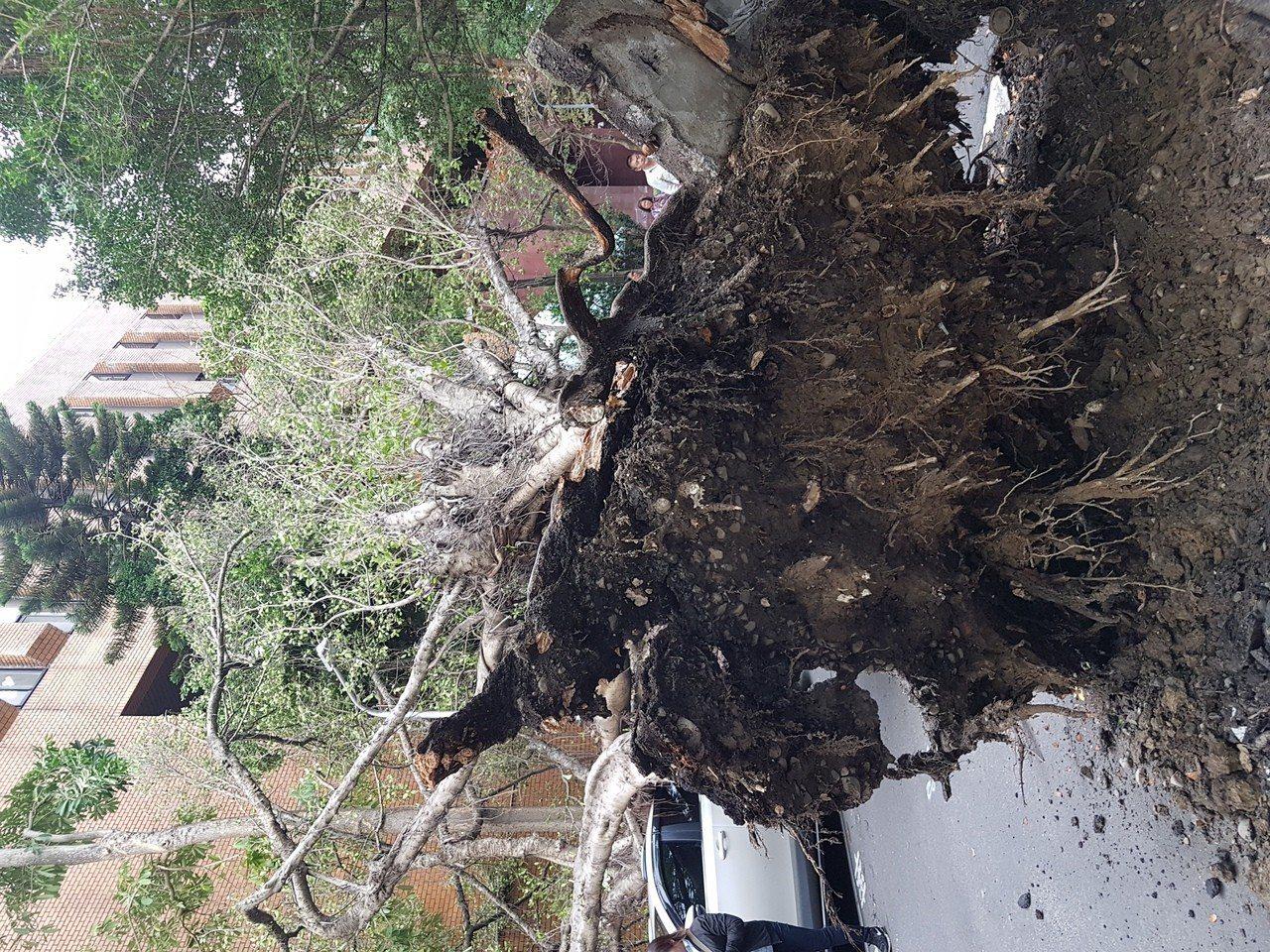 法務部與中華民國北美事務協調委員會中間的巷道,一棵巨大的榕樹突然傾倒,壓到停在停...