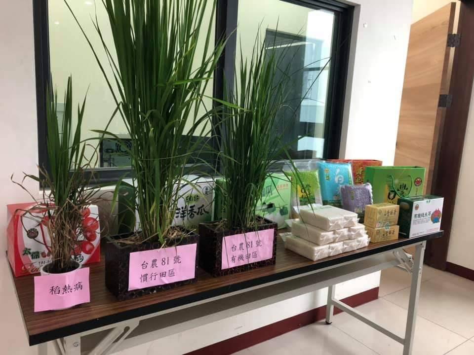 台農81號稻作抗病力佳、不需農藥,今年不受稻熱病影響,為友善土地的農作。圖/太保...