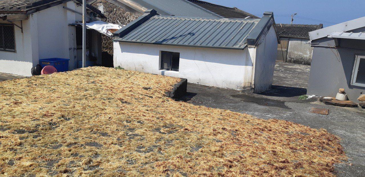 馬崗村居民長年靠採集石花菜維生,村民興奮手指曬乾的石花菜。記者賴郁薇/攝影