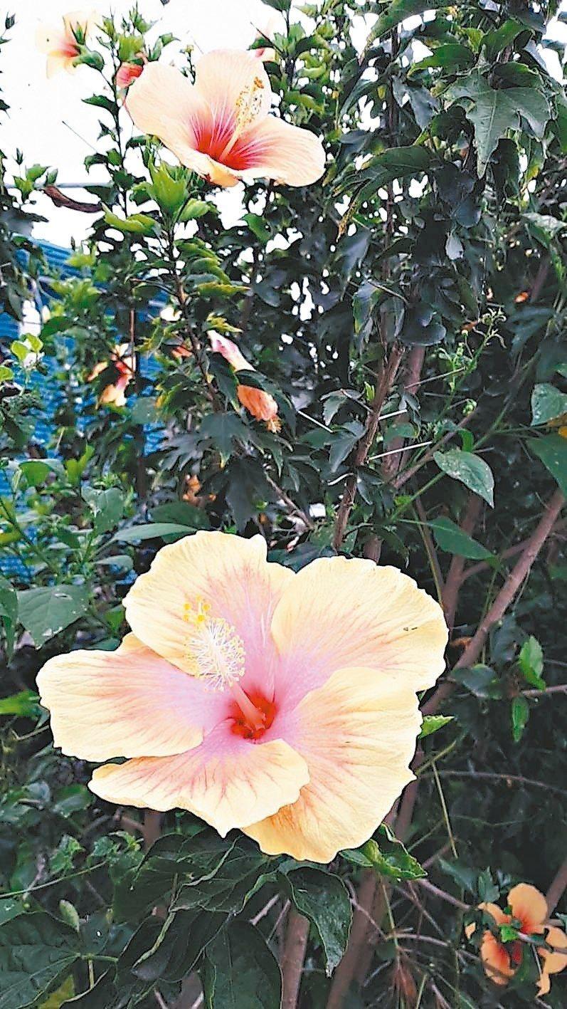 朱槿花(別名:扶桑、佛槿、大紅花),是常見的觀賞花之一。 圖/台東縣政府提供