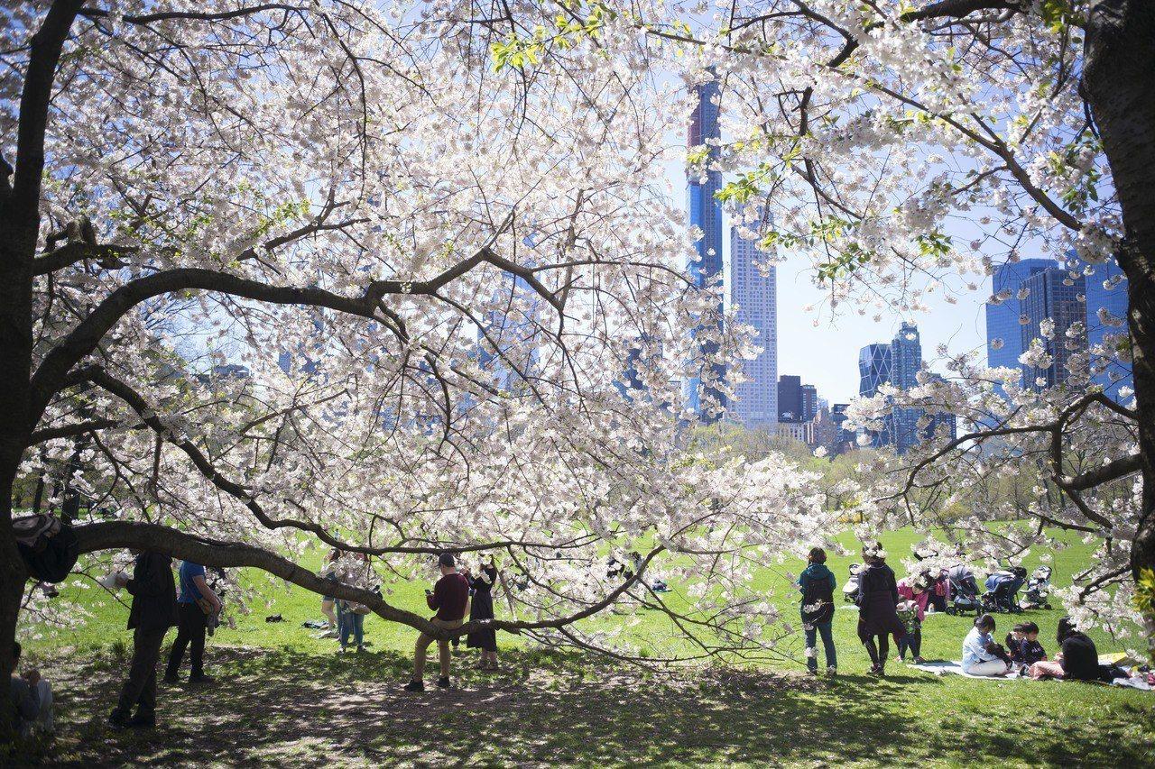 最新統計,全美最大城紐約市人口減少,為逾10年來首見。圖為紐約中央公園櫻花正盛,...