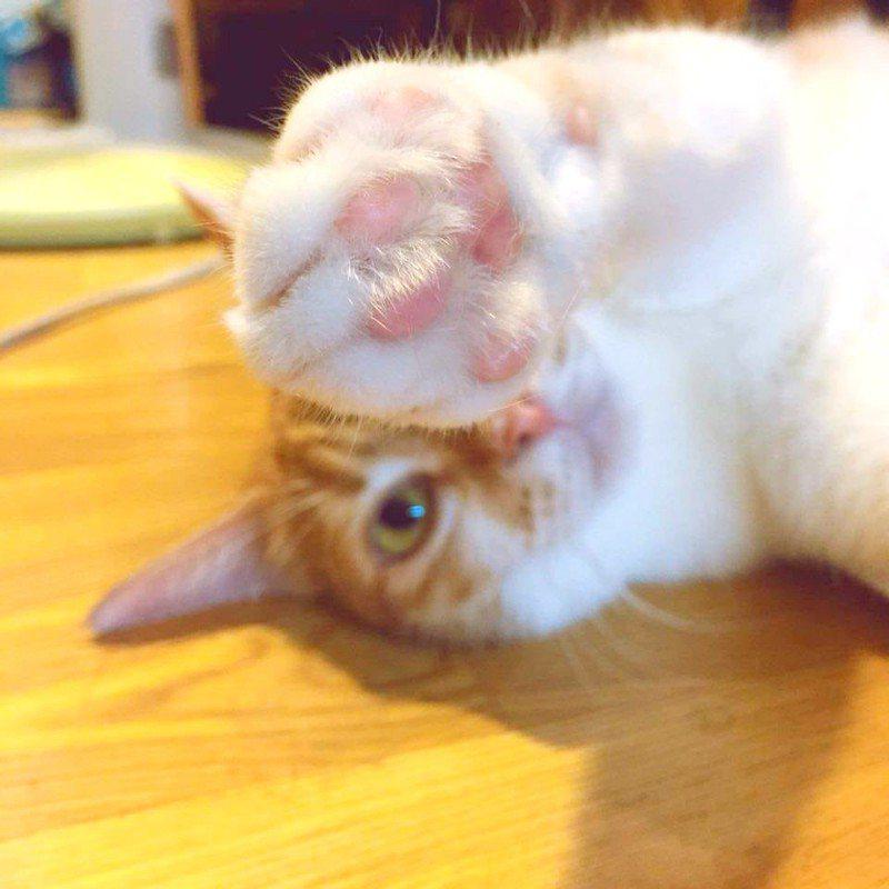 許多人都認為,貓咪的腳掌有股爆米花的味道。記者陳睿中/攝影