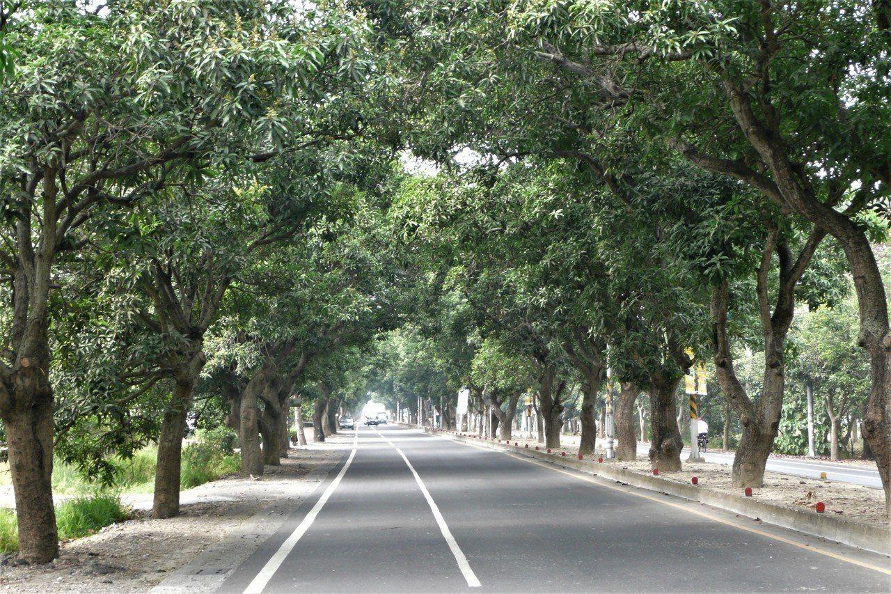 台南柳營太康綠色隧道有700多株芒果行道樹,被譽為最美的鄉道馬拉松。圖/讀者提供