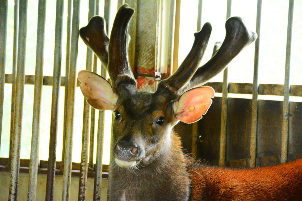 台南鹿農林昆鋒從育種開始,掌握優良鹿種以生產好的鹿茸。記者吳淑玲/攝影