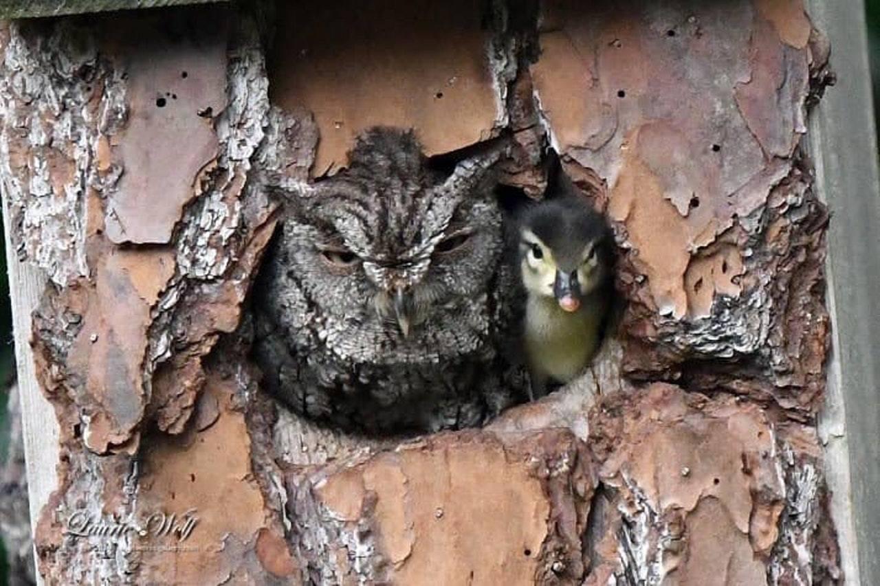 沃爾夫發現後院的箱子中,有一隻貓頭鷹孵出一隻小鴨。圖擷自Laurie Wolf ...