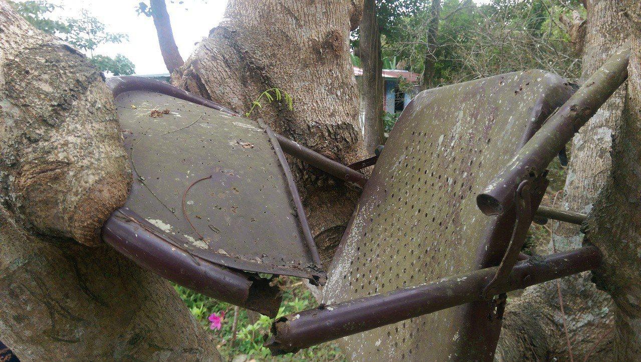 樹幹就像長了嘴巴,把椅背給吃了下去。記者尤聰光/攝影