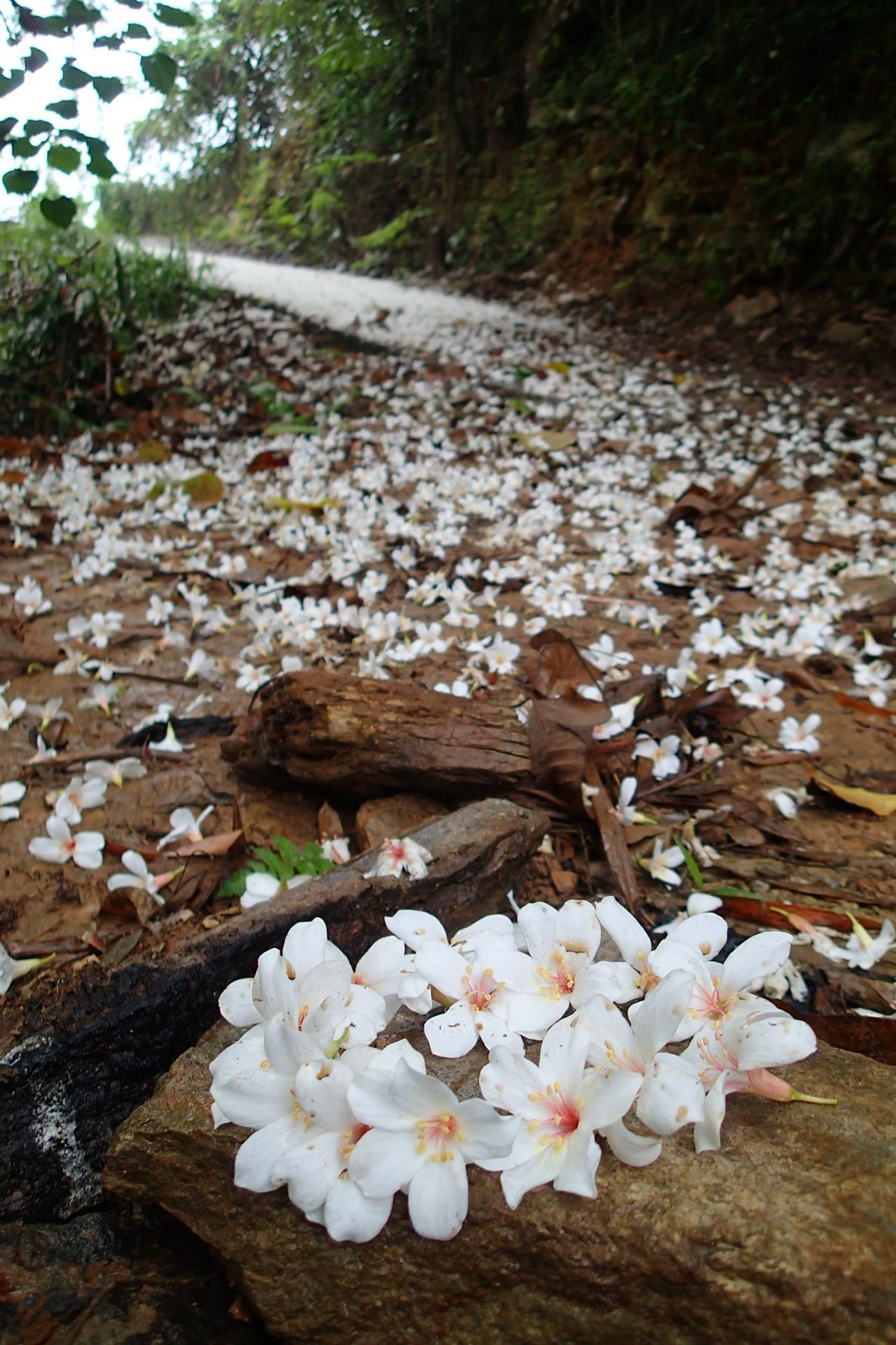 桐花灑滿竹林步道。記者余衡/攝影