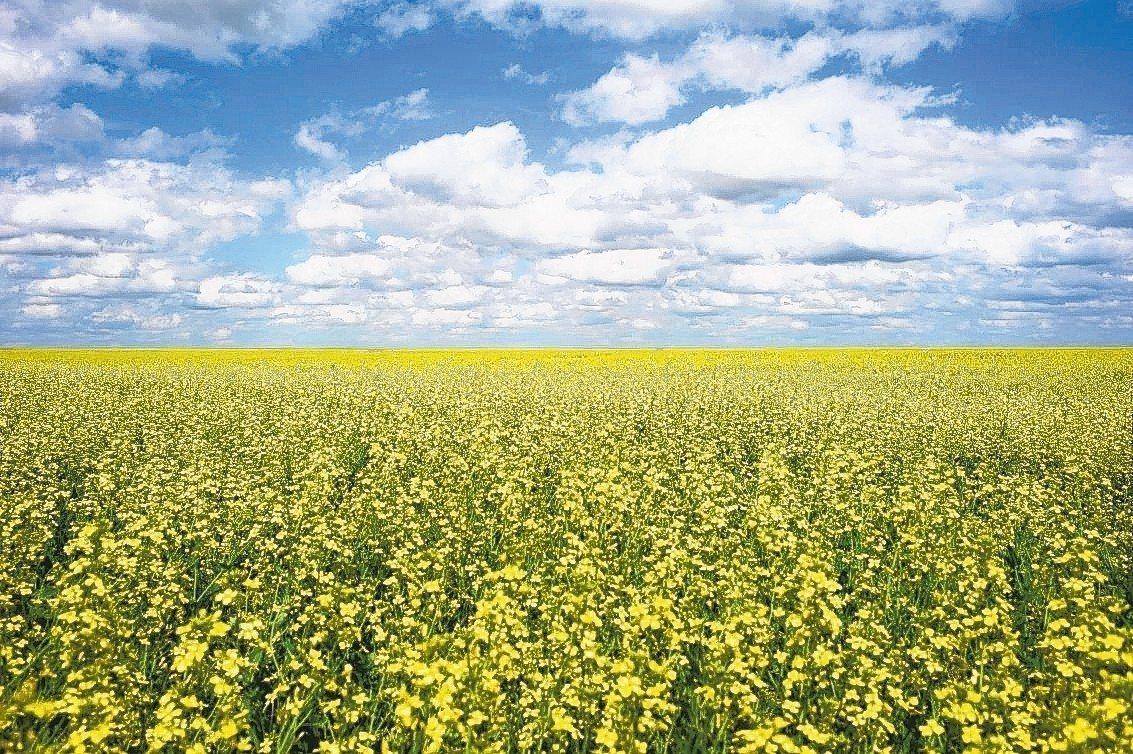 中國大陸最近禁止從加拿大進口油菜籽。圖為加拿大亞伯達省的油菜田。 路透