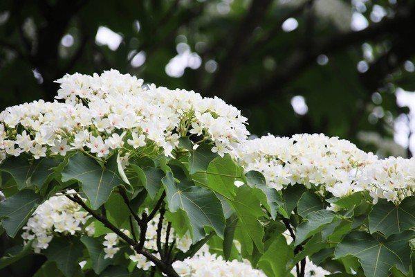 桐花白色花瓣隨風飄落就像是下雪般景致。圖/三芝區公所提供