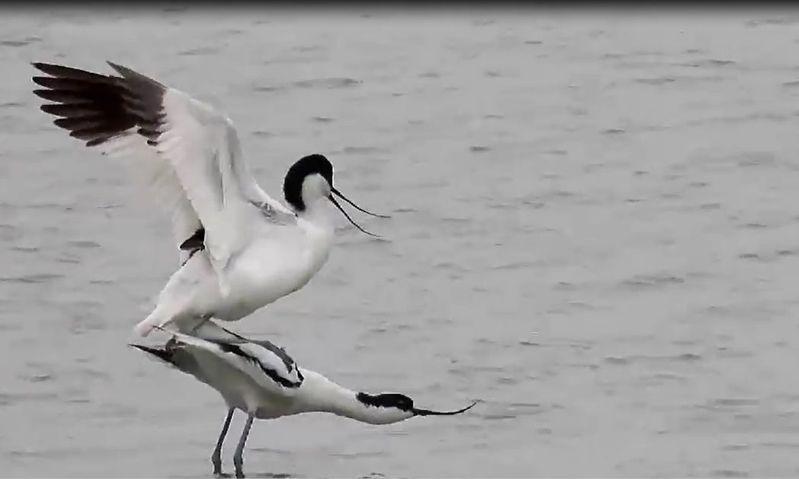 目前正值野鳥繁殖期,荒野保護協會嘉義分會解說員蘇家弘今天早上,在嘉義縣東石鄉沿海觀察1對美麗的反嘴鴴公然曬恩愛,公鳥跳上母鳥背上,迅速完成交尾儀式。記者魯永明/翻攝