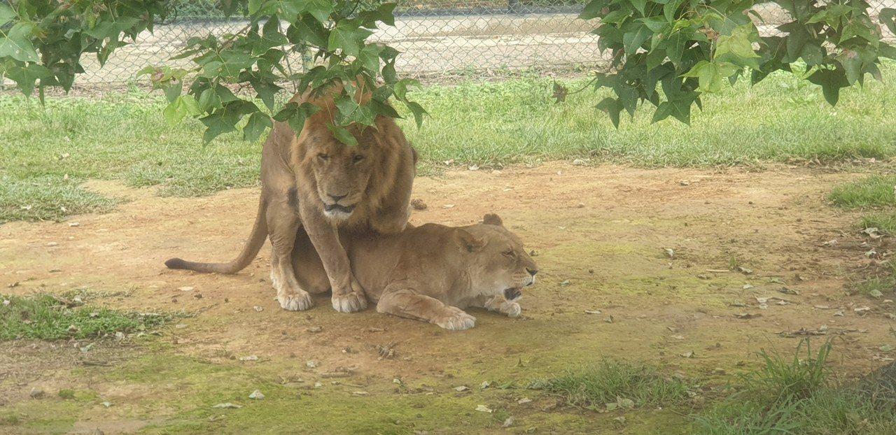 遊客正在看六福村主題遊樂園的獅子,這對獅子立刻尷尬分開。記者游振昇/攝影