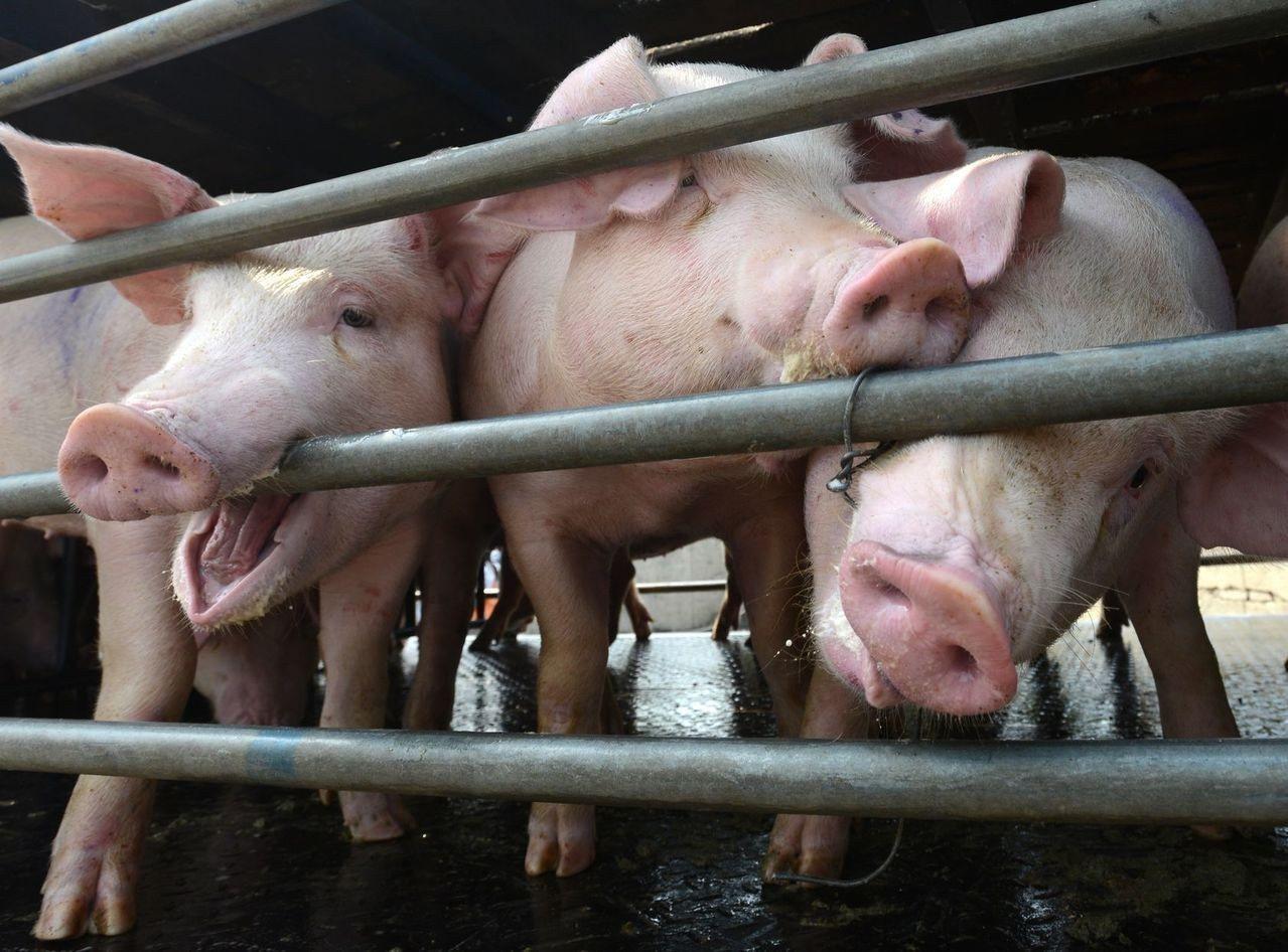海口市秀英區、澄邁縣、保亭縣及陵水縣均發生非洲豬瘟疫情。香港星島日報