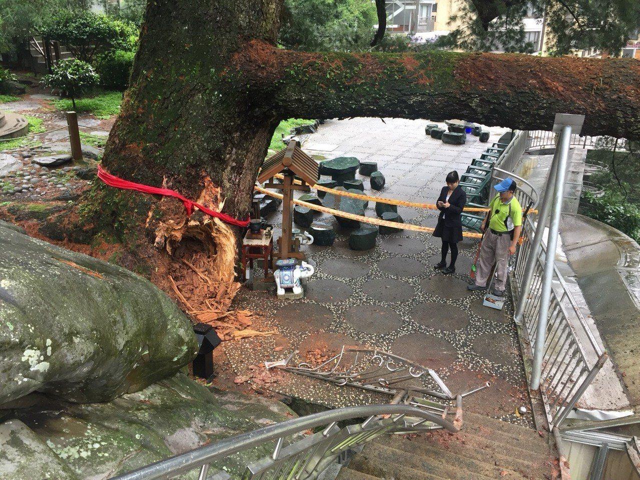 谷關千年五葉松在風雨過後副樹幹斷裂,當地居民著急。圖/冉齡軒議員提供