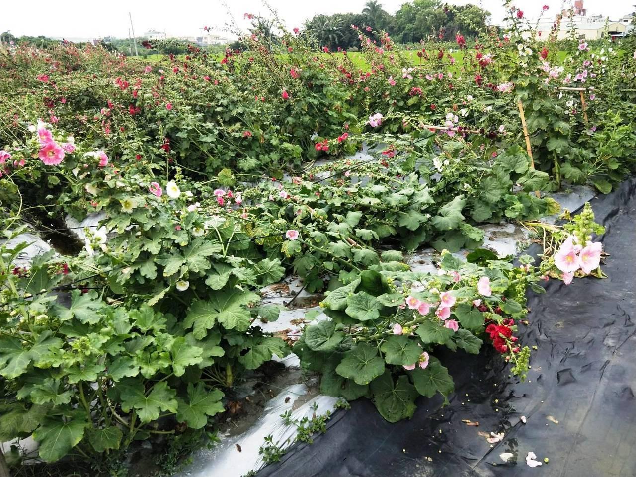 1萬6千多株千嬌百媚的蜀葵花不堪一場狂風暴雨,已倒成一片。記者何烱榮/攝影