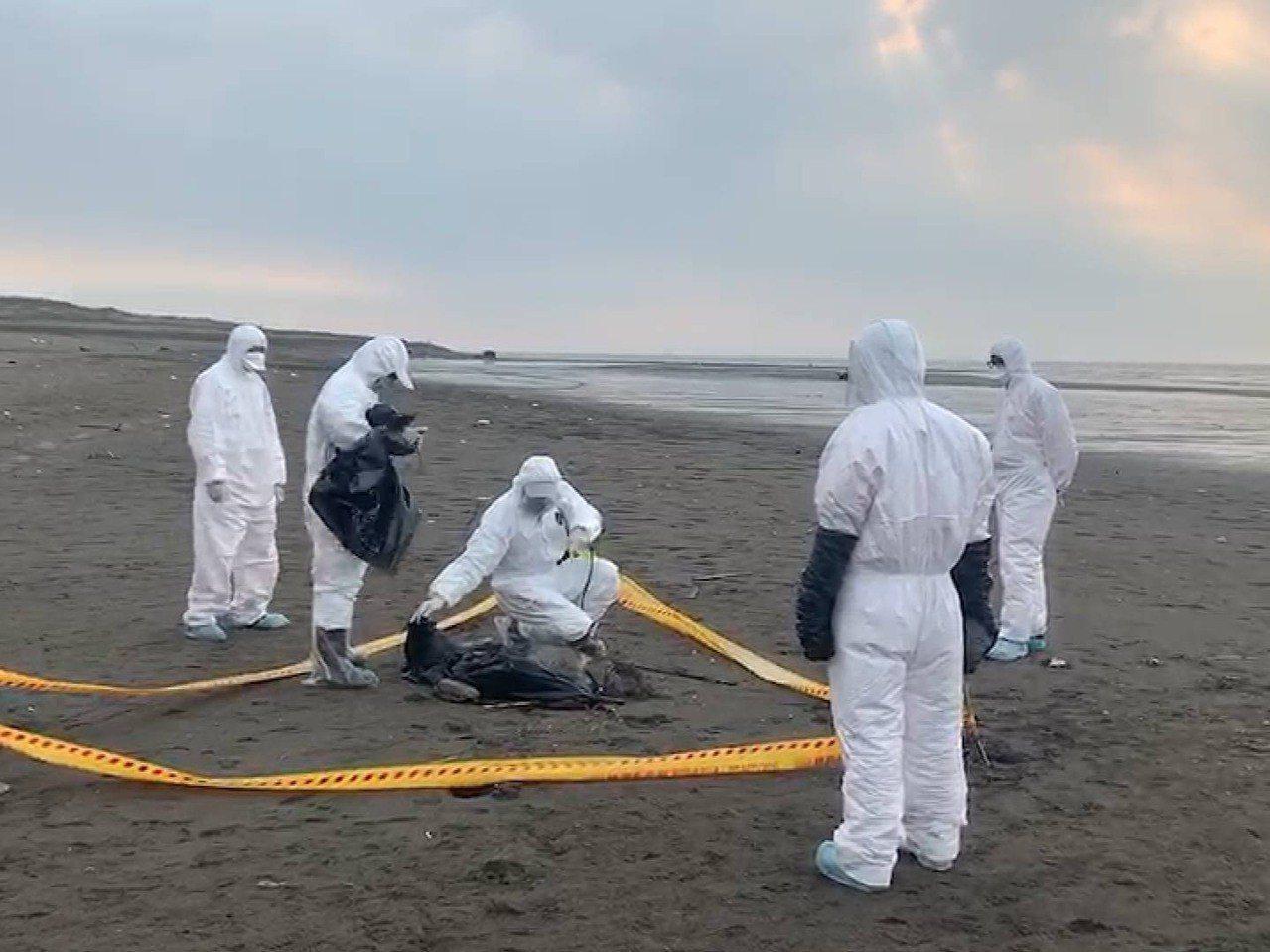 海巡署第八岸巡隊在竹圍漁港沙灘發現一具豬屍,拉封鎖線消毒,由桃園市府動物保護處帶...