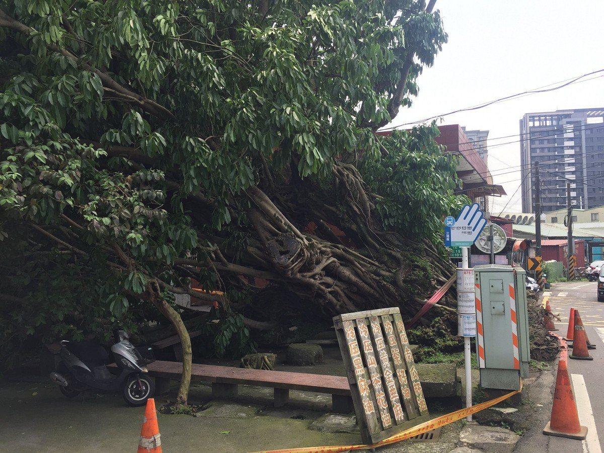淡水區百年老樹『雀榕』突然倒下,里長張麗卿希望能夠扶正,再讓百年老樹活下去 。 ...
