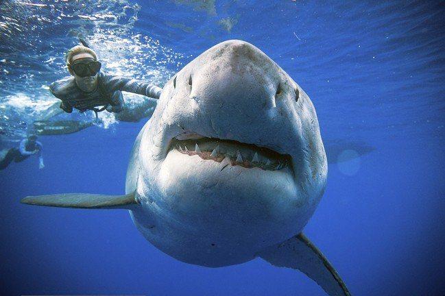 今年1月15日,鯊魚研究者Ocean Ramsey在美國夏威夷歐胡島外,游近一隻...