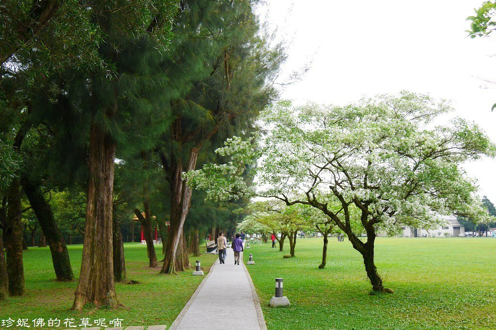 ▲每棵樹開花時間不太一樣,比較早開的老樹已經落花,但也有正在開的,現在來賞花也適...