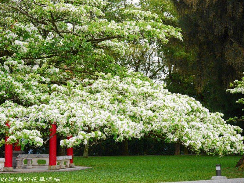 ▲懷恩亭旁邊這棵開得正美且樹枝低矮(用手機就很可以)、姿態優雅