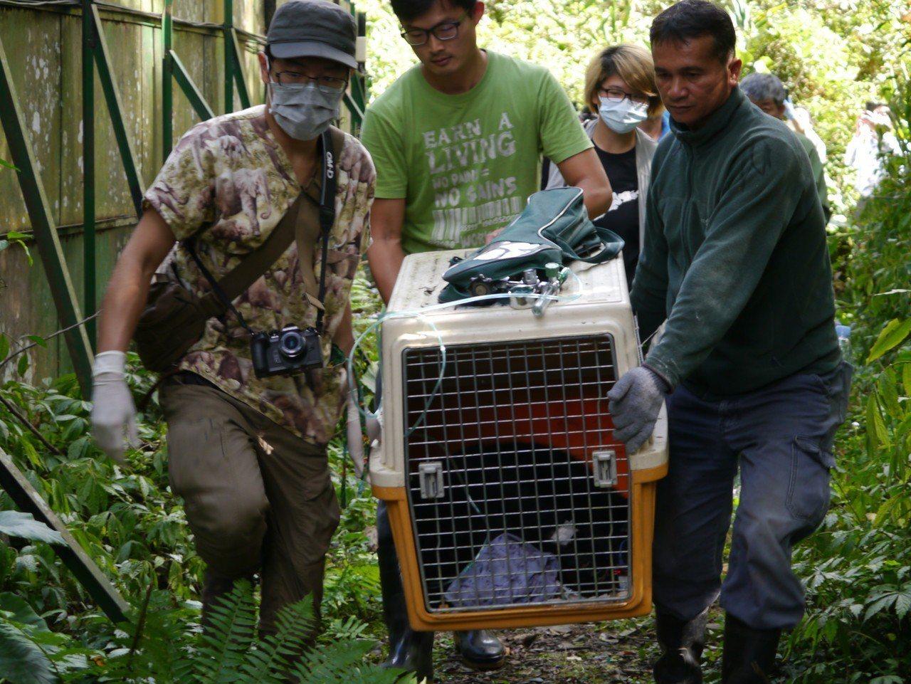 小熊移至野訓場過程。圖/林務局提供