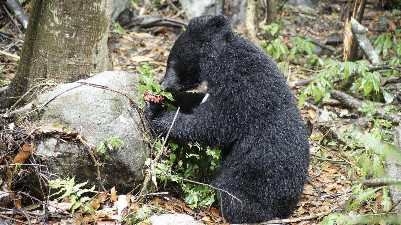 野訓場小熊覓食。圖/林務局提供