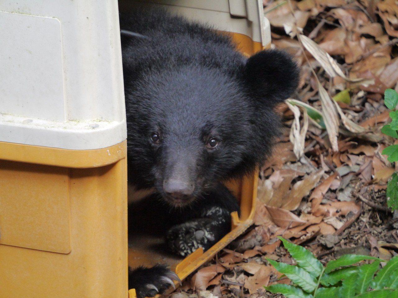 小熊移至野訓場後從箱中探出頭。圖/林務局提供