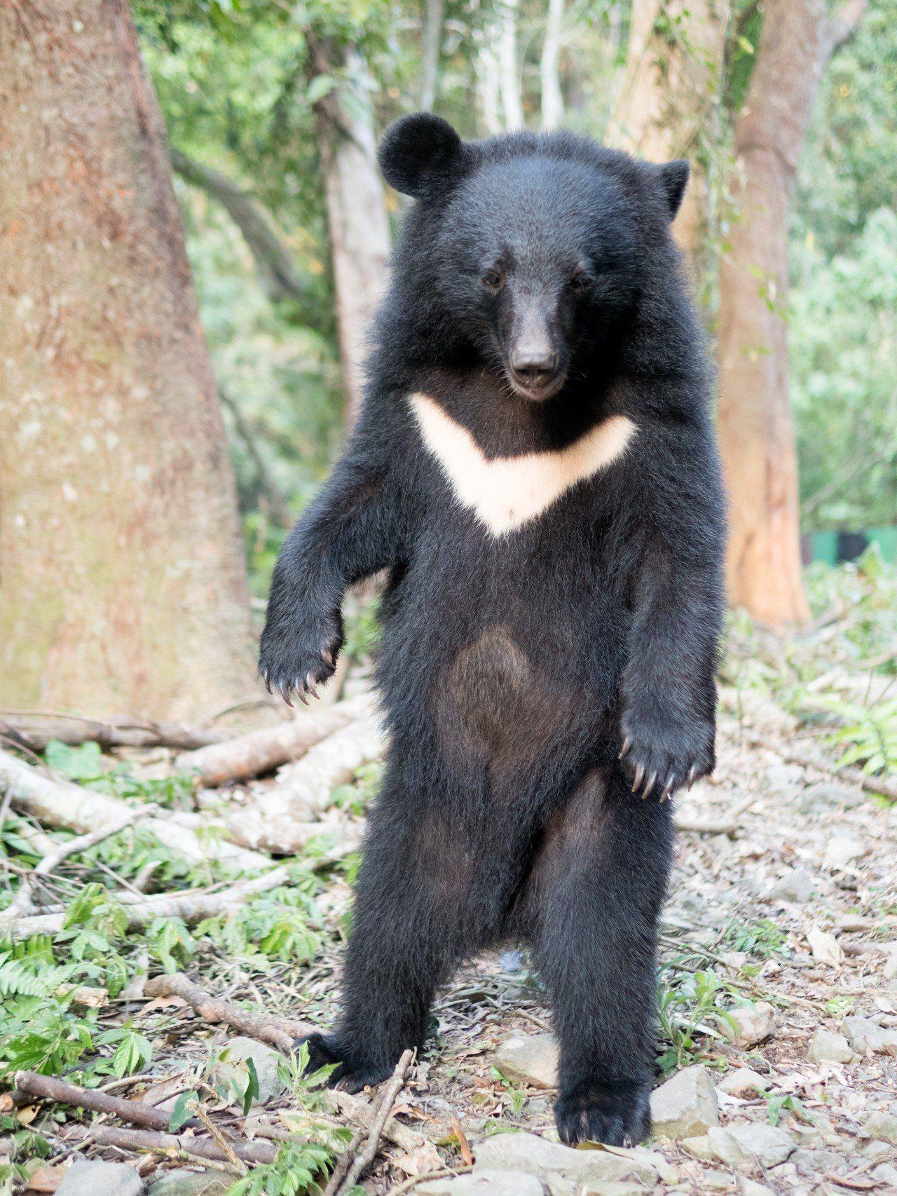 野訓場小熊以後腳站立。圖/台灣黑熊保育協會提供