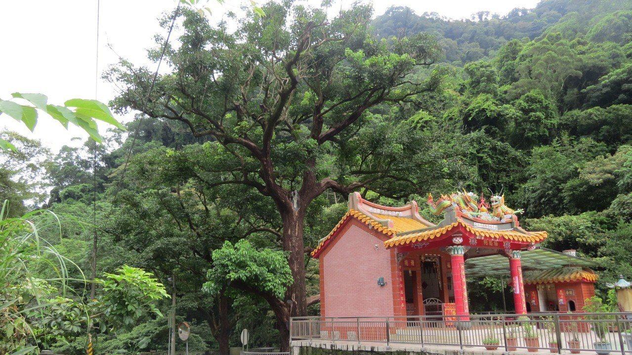 苗栗縣公館鄉北河村老茄苳過去樹形美麗,地方的信仰中心也是地標。圖/本報資料照片
