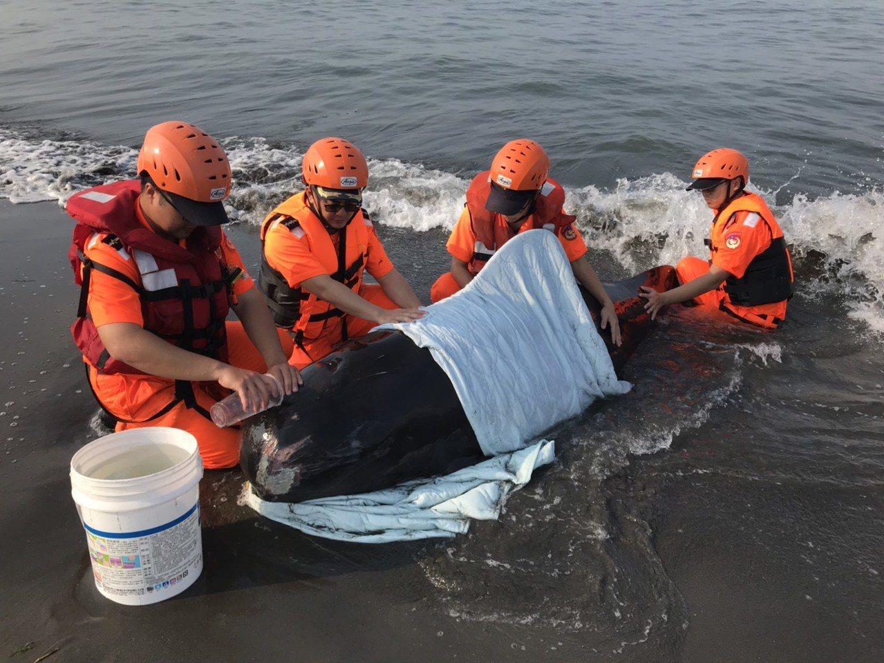 海巡署人員為避免海豚氣孔進水,先將牠固定安置於岸上,以濕布覆蓋其身,持續灑水保持...