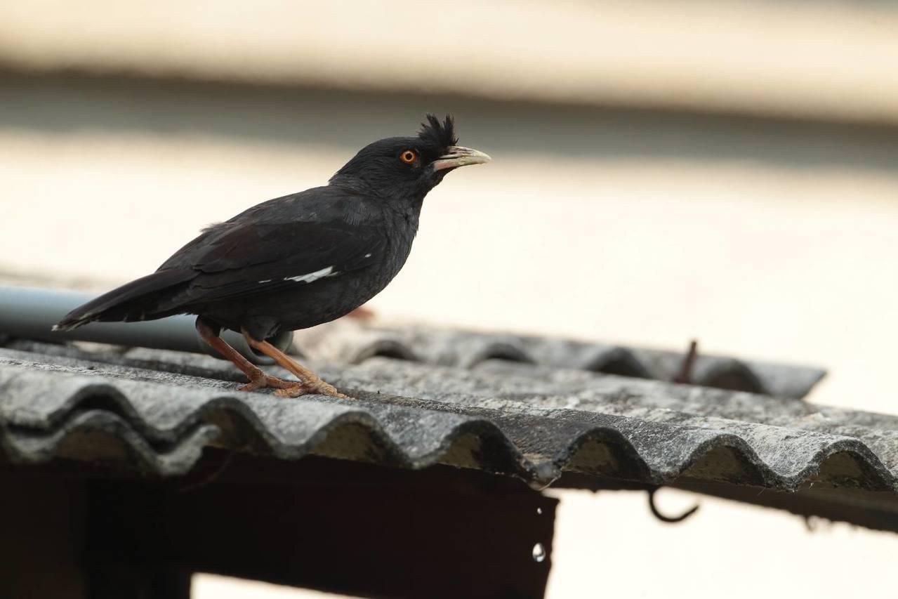 林務局羅東林區管理處發現,台灣的原生種保育類八哥,遭受外來種白尾八哥、家八哥的大...
