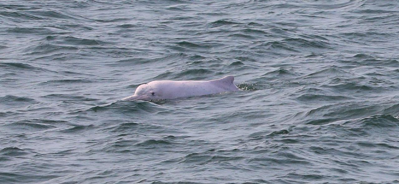 海巡署護白海豚行動,今天在台中沿海看到白海豚。圖/海巡署提供