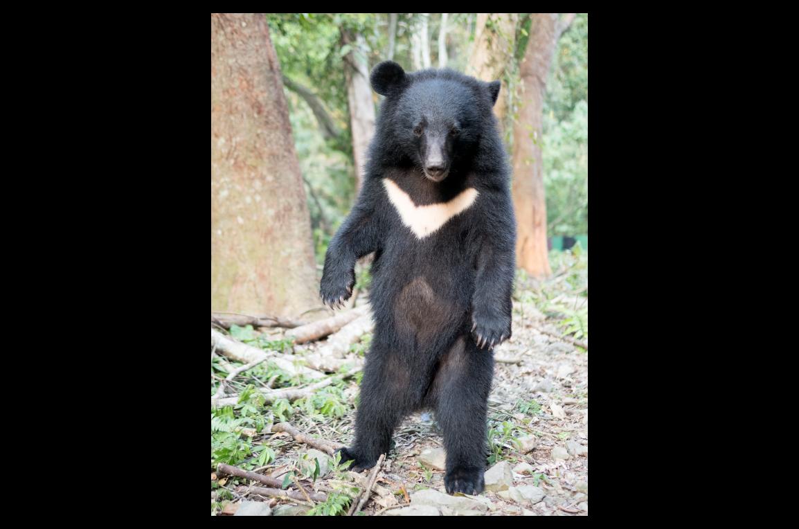 去年七月在花蓮南安瀑布附近落單的小熊,歷經九個月的照養及野化訓練,如今已是「亭亭...