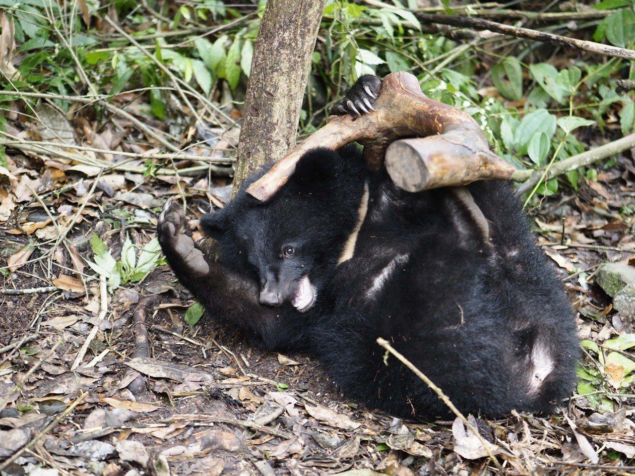 野訓場小熊樹下玩枯木。台灣黑熊保育協會/提供