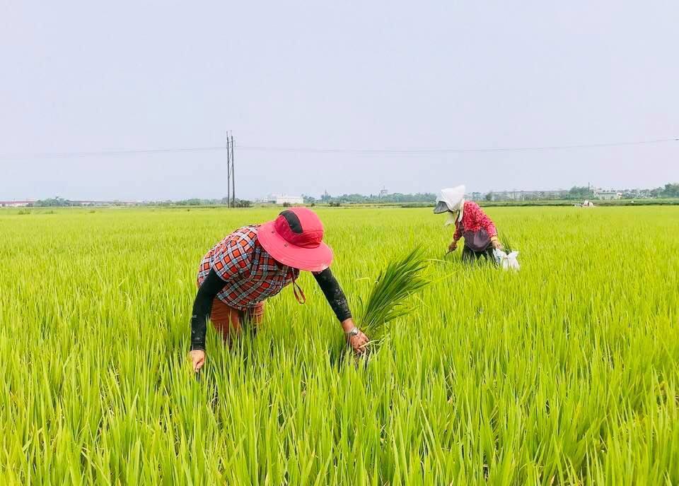 因應稻米生產爆量,農委會規畫未來二期稻作,從台中以南到彰化、雲林、嘉義、台南,要...