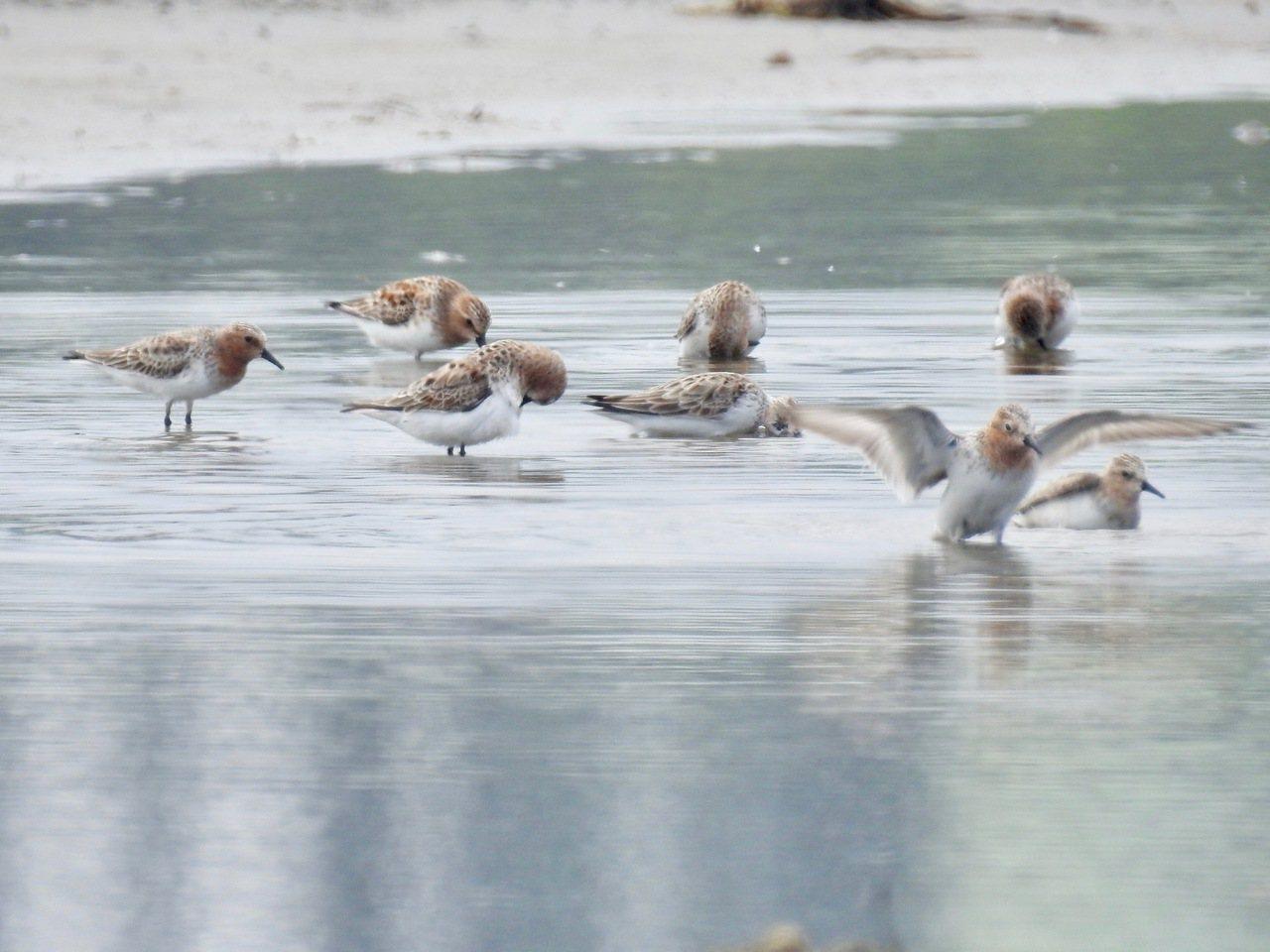 海邊有整群濱鷸棲息。記者曾健祐/攝影