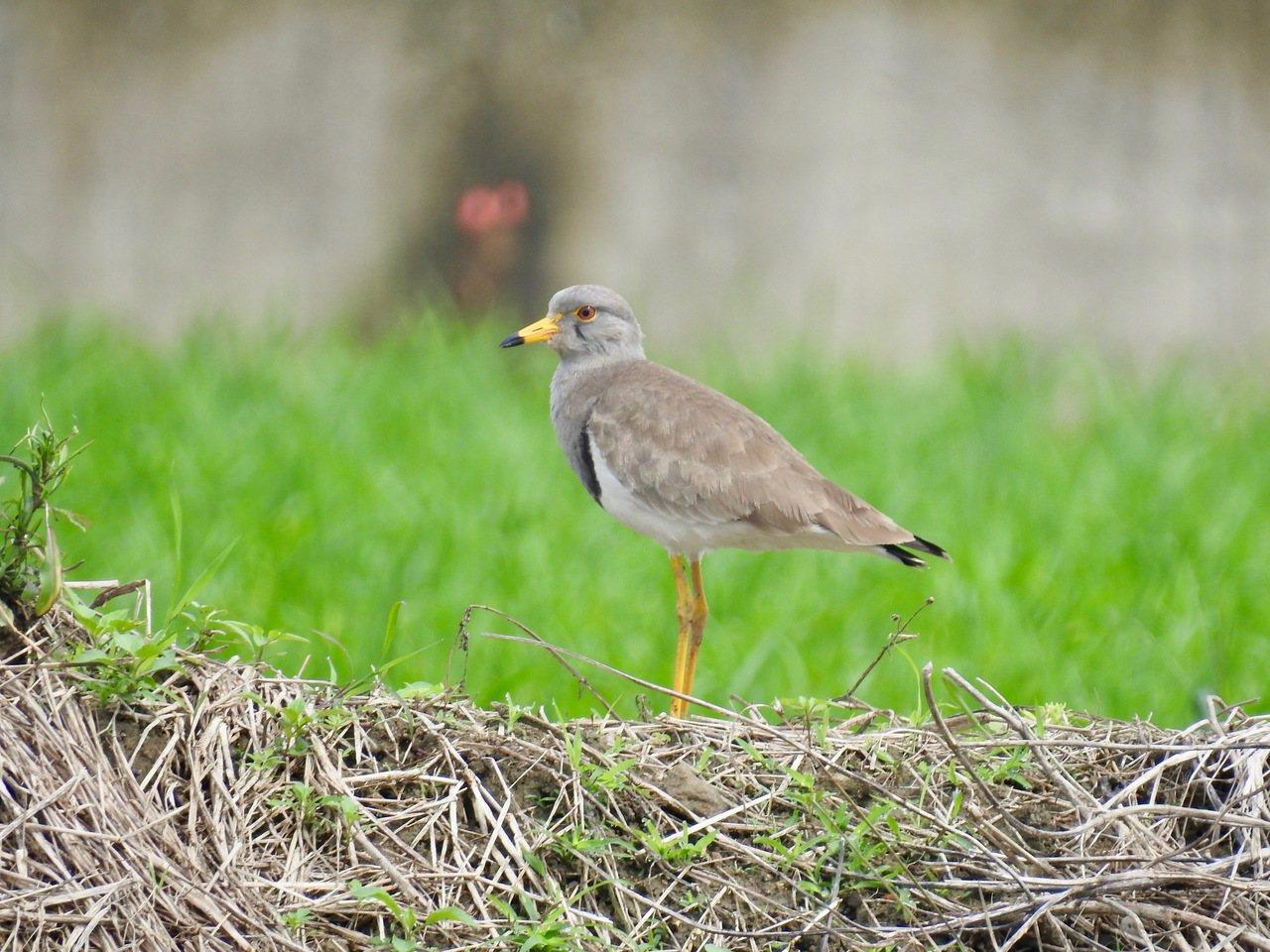 跳鴴又稱「灰頭麥雞」,每年過境期只在台灣沿海零星出現。記者曾健祐/攝影