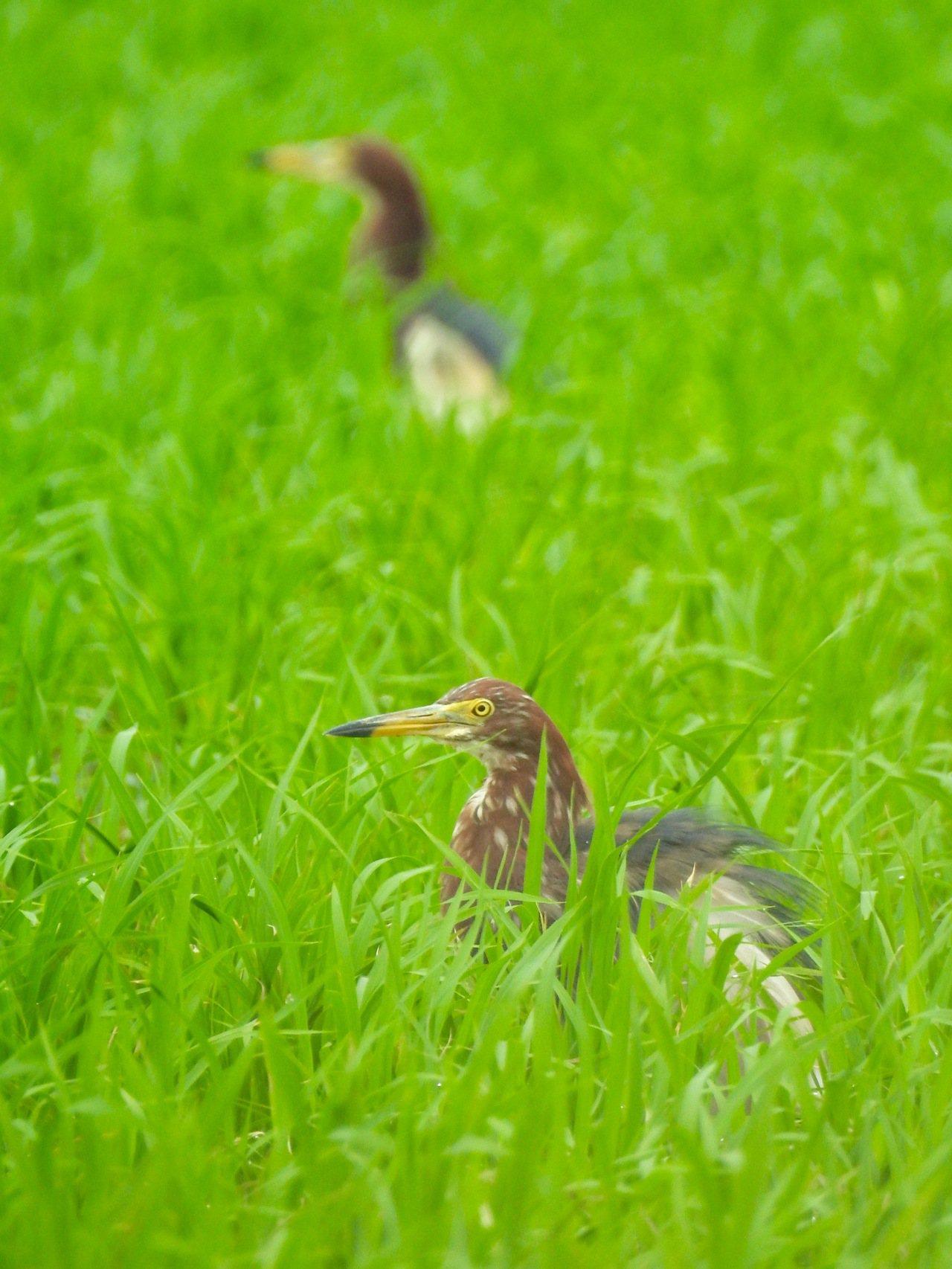 池鷺最近三五成群出現在大園沿海農田。記者曾健祐/攝影