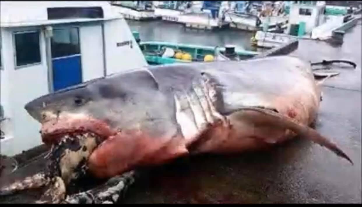一條重達2000多公斤的大白鯊,在日本外海被人發現氣絕身亡,原因竟是吞不下口中獵...
