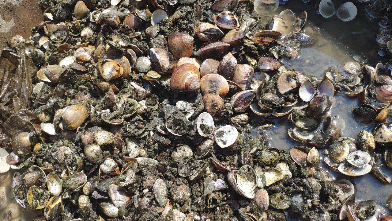 台西文蛤養殖業陸續出現災情。記者李京昇/攝影