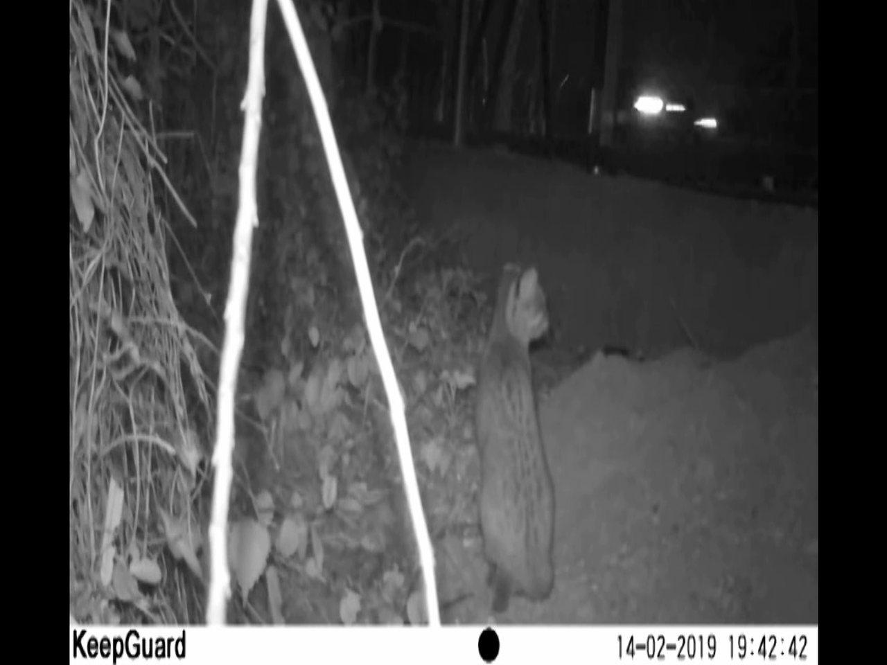 苗栗縣政府委託研究團隊2月14日紀錄到石虎在苗29線防護網內,受阻無法穿越馬路的...