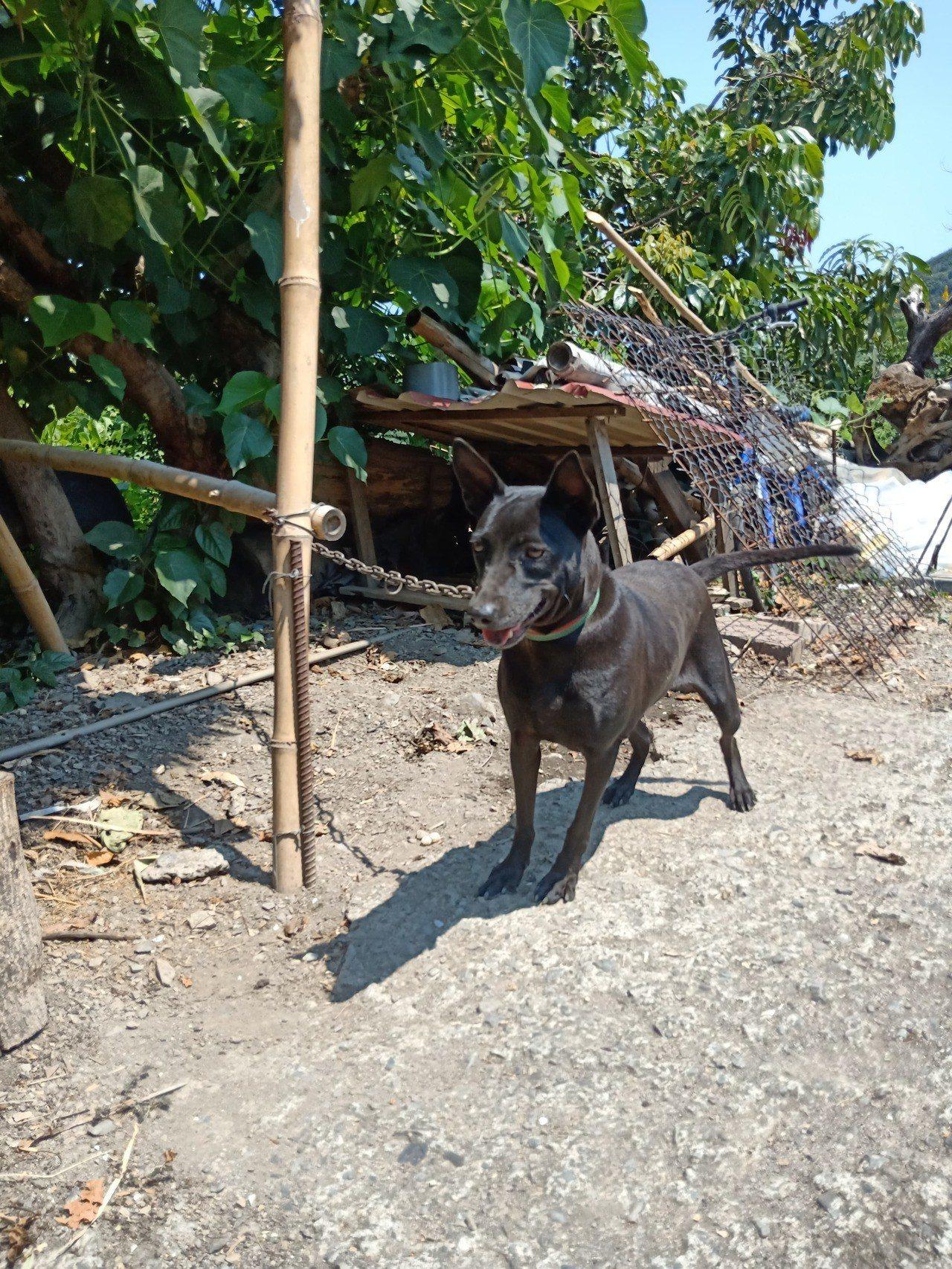 台東一名林姓男子飼養的黑狗,因不斷狂吠,卻救了主人一命。圖/林男提供
