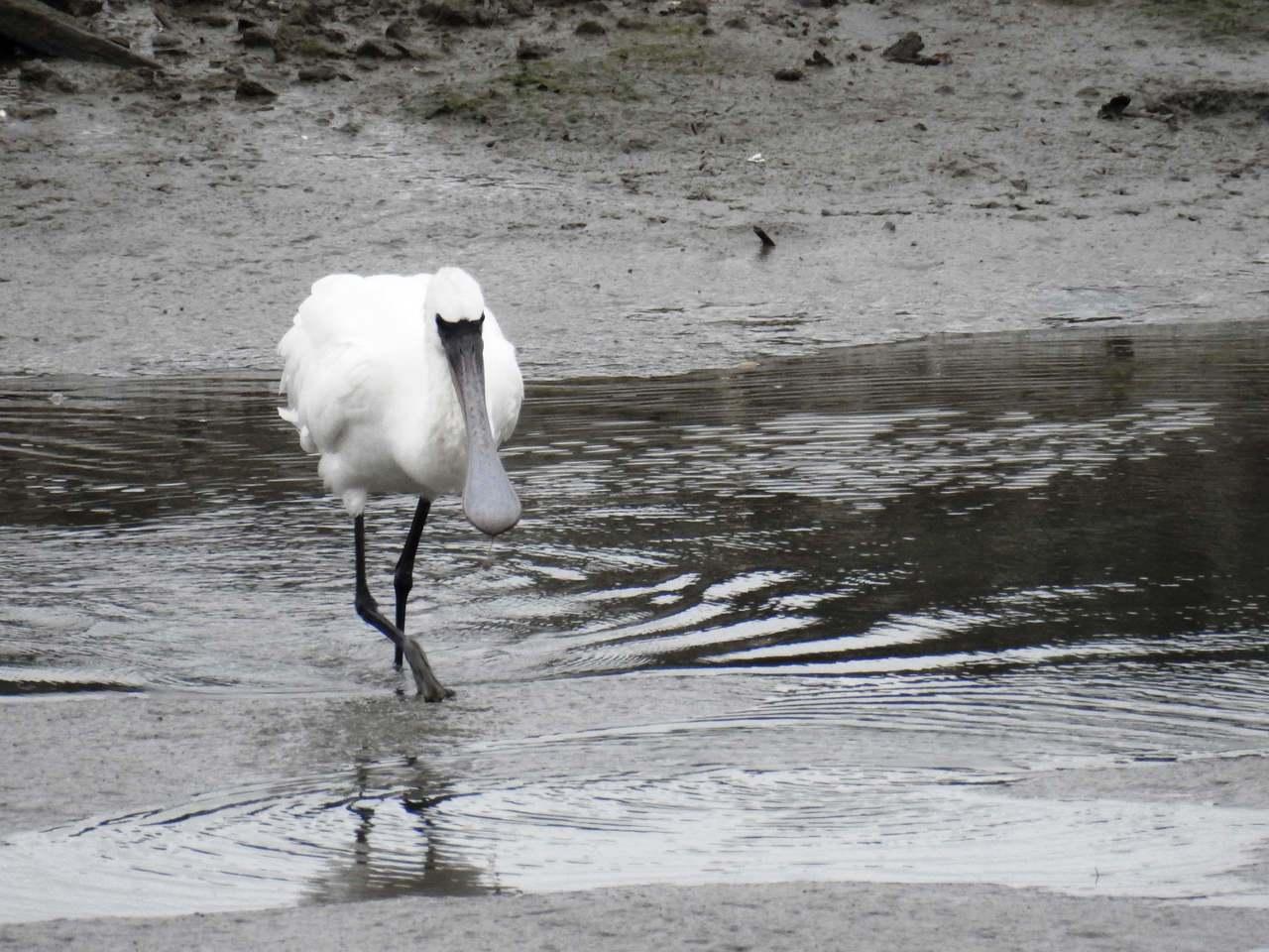 社子島溼地今年已有多次目擊黑面琵鷺的紀錄。圖/取自台北市政府工務局水利工程處官網