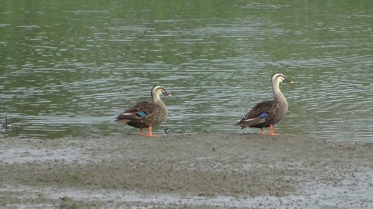 有著黃色嘴尖與藍色羽毛的花嘴鴨。圖/取自台北市政府工務局水利工程處官網