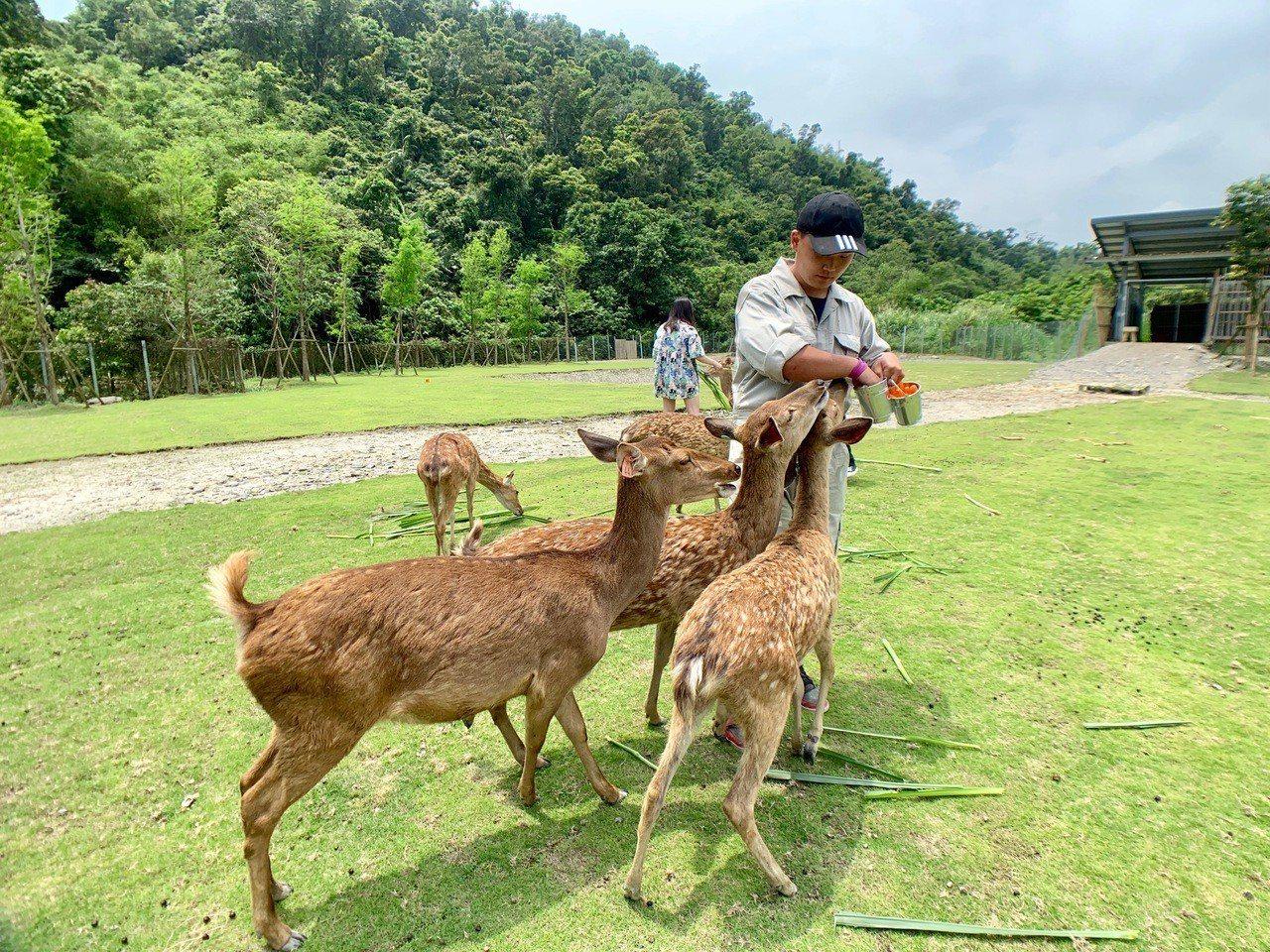 比起牧草,小鹿們更愛吃胡蘿蔔。記者張芳瑜/攝影