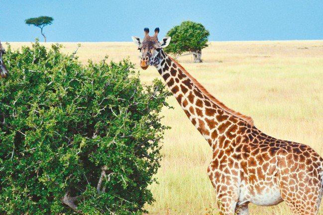 長頸鹿是最會擺pose的『巨星』。 攝影/田定豐