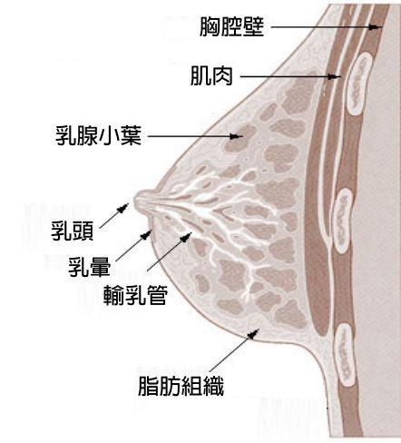 人類乳房構造圖,由乳腺分泌乳汁,經由輸乳管送到乳頭,供幼兒吸吮。 資料來源/美國...