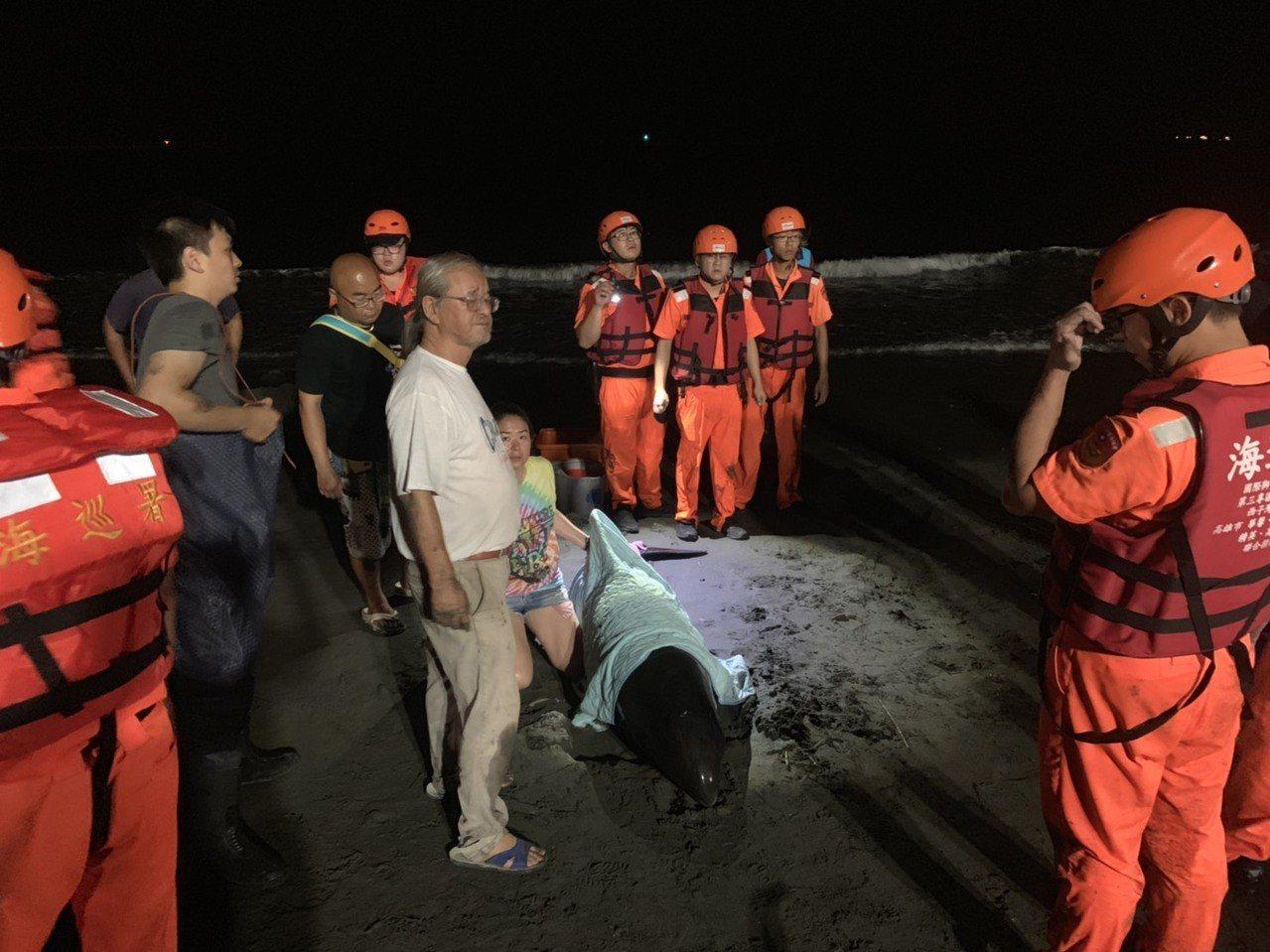 海巡人員和志工搶救擱淺虎鯨。記者林保光/翻攝