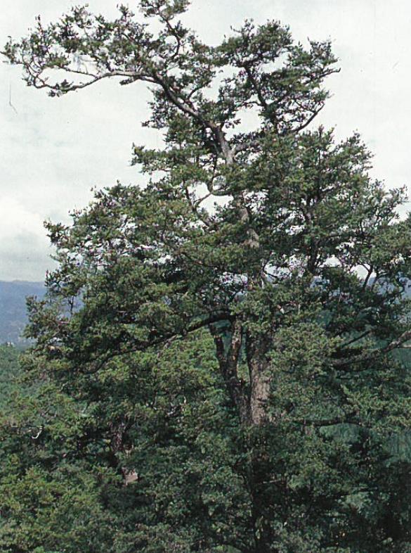台灣油杉植株。圖/林務局提供